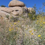 Spring time in the high altitude desert of Joshua Tree NP