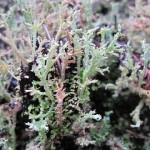 3banana-lichen