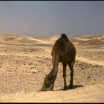 Camel in the Negev, Israel (1999)
